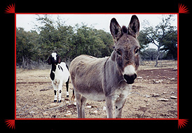 Some donks are great for guarding smaller livestock